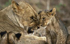 leonessa, giovane leone, animali