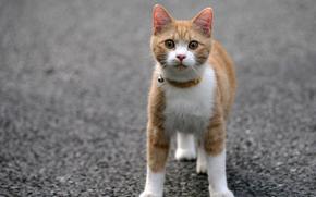 猫, 沥青, 领