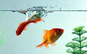 fish, aquarium, water, goldfish, Macro