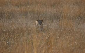 leonessa, caccia