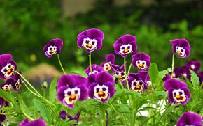 丁香花, 面孔, 草