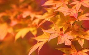 natura, Macro, autunno, fogliame