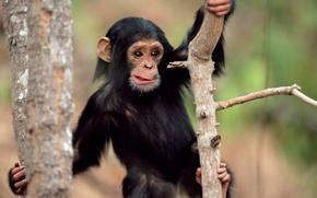 животные, обои с животными, обезьяна, удивление, мордаха