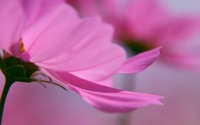 макро цветы, лепестки, розовый, обои для рабочего стола, нежный фон