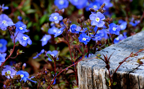 fiori, piccolo, di blu