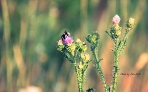 bumblebee, barb, flower, Macro, summer