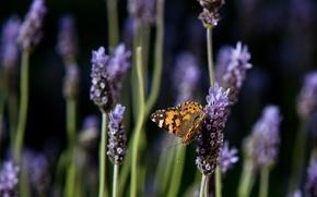 бабочка, лаванда, цветы, природа