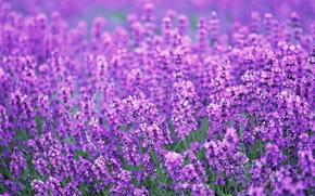 лаванда, поле, цветы, лиловый, лето
