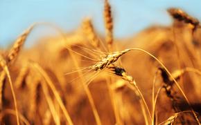 orecchio, campo, pane, grano
