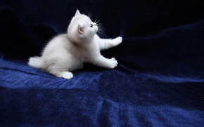 猫, 猫, 小猫