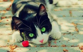 чёрно-белый, кот, зелёные, глаза, вишня