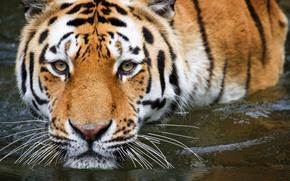 тигр, вода, купание