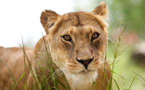 animali, predatore, leonessa, leone, carta da parati