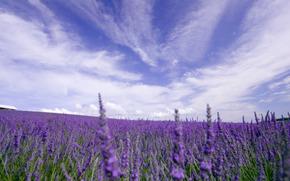 природа, поле, цветы, лаванда, небо, облака