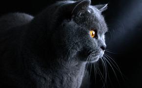голубой, британский, кот