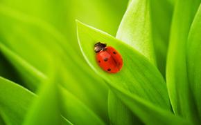 макро обои, фото, природа, листья, трава, божья коровка, жуки