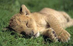 обои с животными, животные, львы, малыши, лёва, дикие кошки, сон