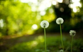 природа, цветы, одуванчики, фото, обои, скачать бесплатно обои, картинки