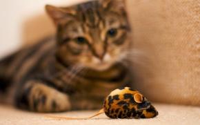 gatto, osservazione, giocattolo, mouse