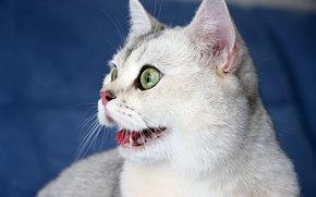 котэ, зеленоглазый, кот, кошка