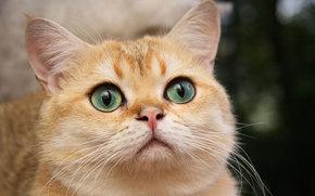 красивый, белый, кот, кошка