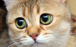большеглазый, рыжик, котяра, кот, кошка
