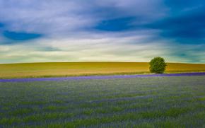 лаванда, поле, англия