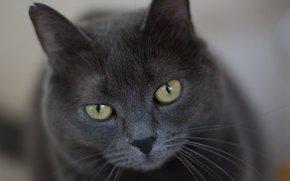 кот, серый, строгий