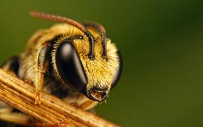 abeja, ojos
