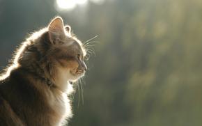 gatto, gatto, vista, profilo, marrone, sorriso