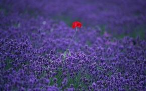 лаванда, мак, поле, цветы