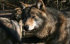 flock, Wolves
