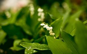 цветы, скромность, зелёный, белый, растения, природа, фото, красота, лес, сад, парк