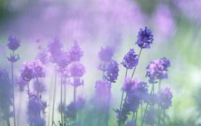 лаванда, цветы, сиреневый цвет, размытость