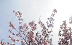 калифорнийская вишня, 照片, 性质, 花卉, 壁纸与自然