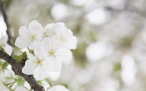 цветок, цветение, весна, красота, нежность, белый