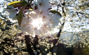 flower, cherry, sun, Rays, spring