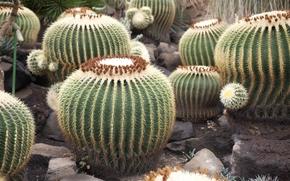 cacti, round, prickly
