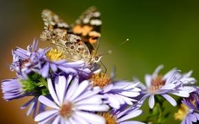 макро, природа, цветы, бабочка