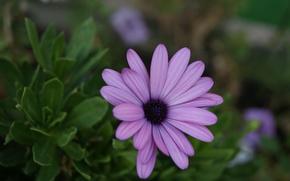 fiori, fiore, Macro, makrosemka