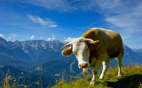 животные, коровы, быки, горы, трава, фото, обои с животными, небо, цветы, природа, вид, пейзажи