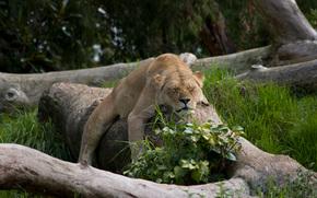 animali, carta da parati, gatti, Lions, sogno, natura, foto, micio