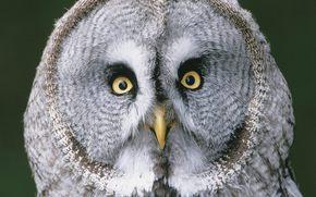 hibou, yeux, Oiseaux