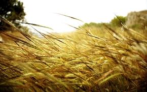 nature, Macro, field, Plants, spikelets
