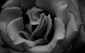 Macro, Flowers, rose, roses, photo, Wallpaper