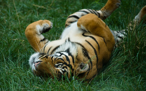 les chats sauvages, Tigres, Kitties, chatte, chatte, herbe, Predators, Rserves, Zoos