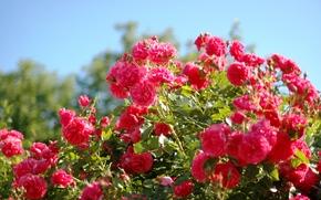 Roses, scarlatto, rosa, cespuglio, estate, bellezza
