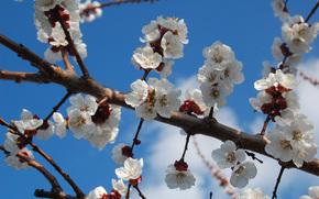 albicocca, fiori, bianco, fiorire, ramo, primavera, cielo blu