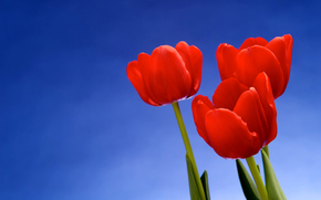 fiori, Macro, foto, carta da parati, sfondo, Tulipani, bella carta da parati