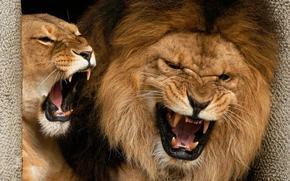leone, leonessa, canini